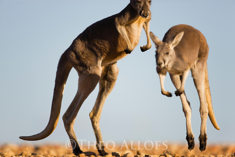 Australia,  NSW, Sturt National Park; red kangaroos hopping (Macropus rufus); the red kangaroo population increased dramatically after the recent rains in the previous 3 years following 8 years of drought