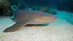 Ginglymostoma cirratum, Nurse shark, Florida Keys