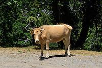 Kühe weiden am Straßenrand in der Castaniccia, Korsika, Frankreich