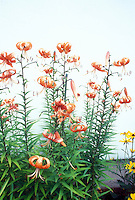 Lily species Lilium henryi