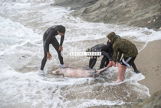 A dead dolphin is pulled from rough seas by teenagers on Towan Headland in Newquay, Cornwall.