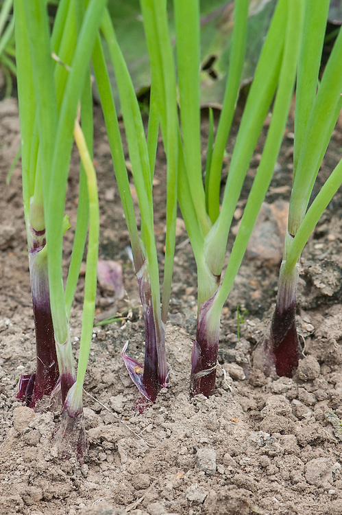 Spring onion 'Lilia', late July. A red variety originally from Italy.