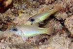 Apogon chrysopomus, Spotgilll cardinalfish, Raja Ampat, Indonesia