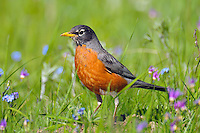 American Robin or North American Robin (Turdus migratorius) hunting worms and insects among wildflowers.  Western U.S., June.
