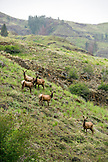 USA, Oregon, Joseph, elk graze up Big Sheep Creek in Northeast Oregon