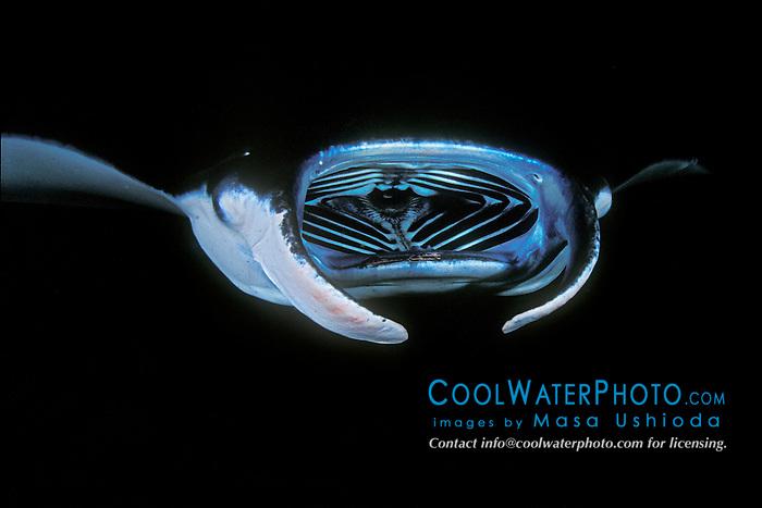 reef manta ray or coastal manta feeding on plankton at night, Manta alfredi, Kona Coast, Big Island, Hawaii, USA, Pacific Ocean