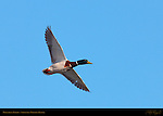 Mallard in Flight, Male, Drake, Sepulveda Wildlife Refuge, Southern California
