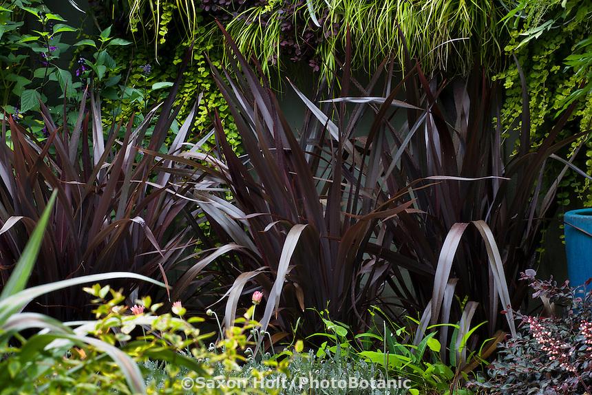 Purple leaf Phormium 'Black Adder' dark foliage perennial in garden ; Sunset Western Garden Collection