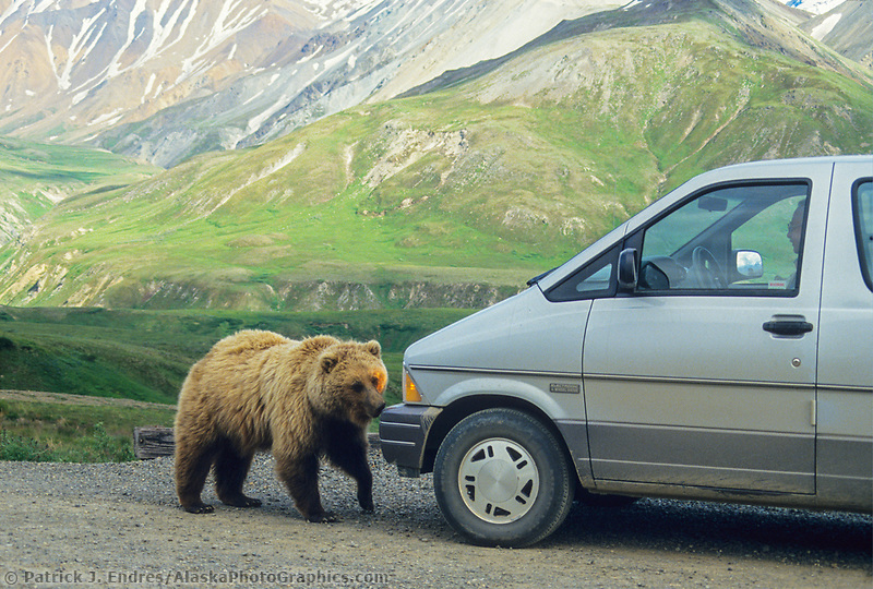 A curious grizzly bear approaches the bumper of a can along the road in Denali National Park, Alaska