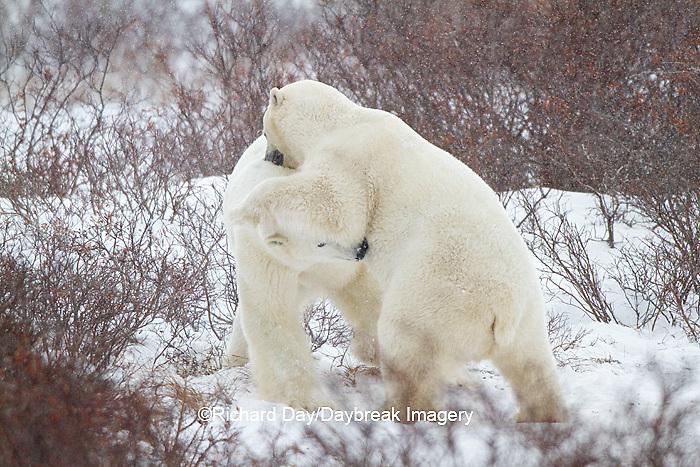 01874-12513 Two Polar bears (Ursus maritimus) sparring, Churchill Wildlife Management Area, Churchill, MB Canada