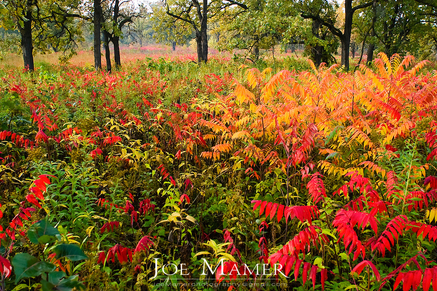 Red and orange Staghorn Sumac (Rhus typhina) during autumn in oak savannah of central Minnesota. The savannah is located in the Louisville Swamp area of the Minnesota Valley National Wildlife Refuge