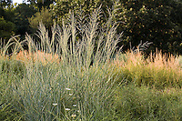 Panicum virgatum (switch grass) flowering in meadow at River Farm American Horticultural Society; lawn substitute, naturalistic garden, native grass