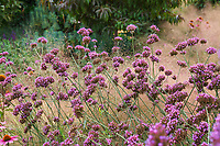 Verbena bonariensis, Purple Top Vervain; Sunset gardens, Cornerstone, Sonoma