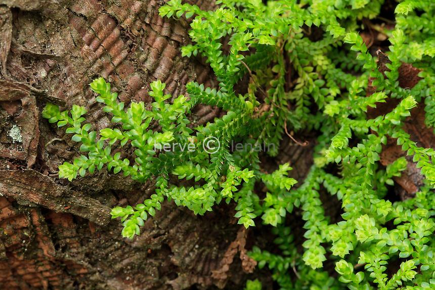 Domaine du Rayol en novembre : sélaginelle denticulée (Selaginella denticulata)