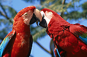 Amazon, Brazil. Blue and red Greenwing Macaws (Ara chloroptera) kissing. Amazonas State.