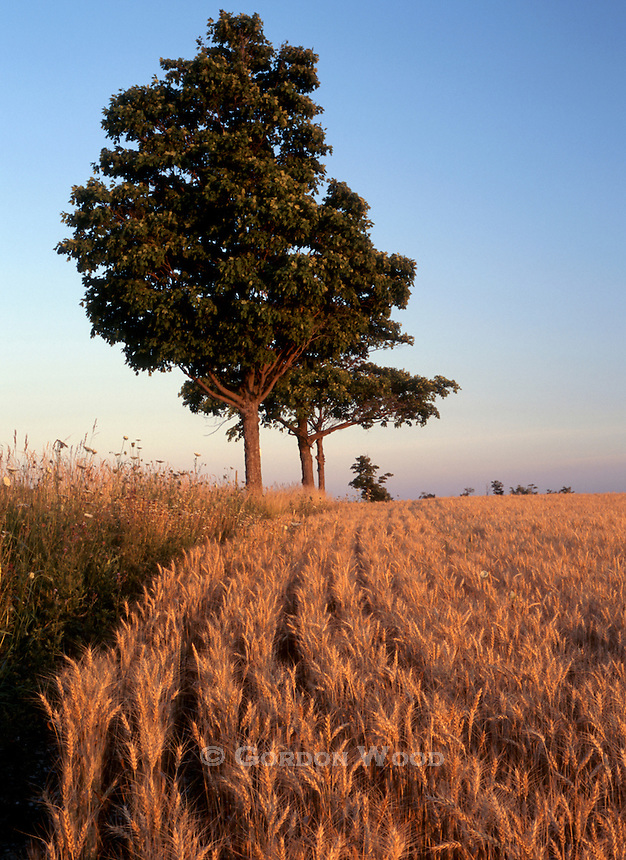 Wheat field and trees