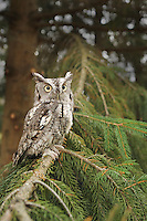 An eastern screech owl perched on a conifer