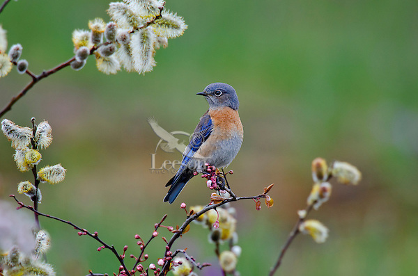Female Western Bluebird (Sialia mexicana).   Columbia River Gorge National Scenic Area, Washington-Oregon..Early Spring.