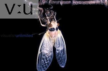 17 year Cicada adult drying, ecdysis 3 of 3