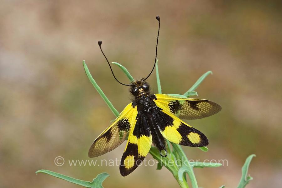 Östlicher Schmetterlingshaft, Libelloides macaronius, Ascalaphus macaronius, owlfly, l'Ascalaphe bariolé, Schmetterlingshafte, Ascalaphidae, owlflies