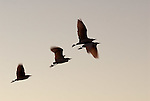 Silhouette of Cattle Egrets flying from  roost at sunrise, Andalucia Spain.Bubulcus Ibis.