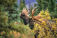 Large bull moose scents for female during mating season, tundra and taiga, Denali National Park, Alaska
