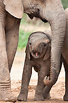 Baby elephant, Loxodonta africana, Addo Elephant National Park, Eastern Cape, South Africa