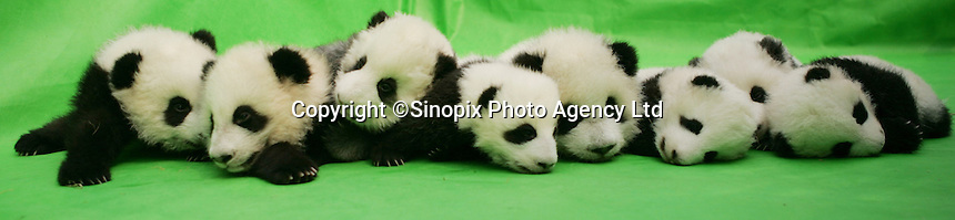 Babies born at Chengdu Giant Panda Breeding and Research Base, China...