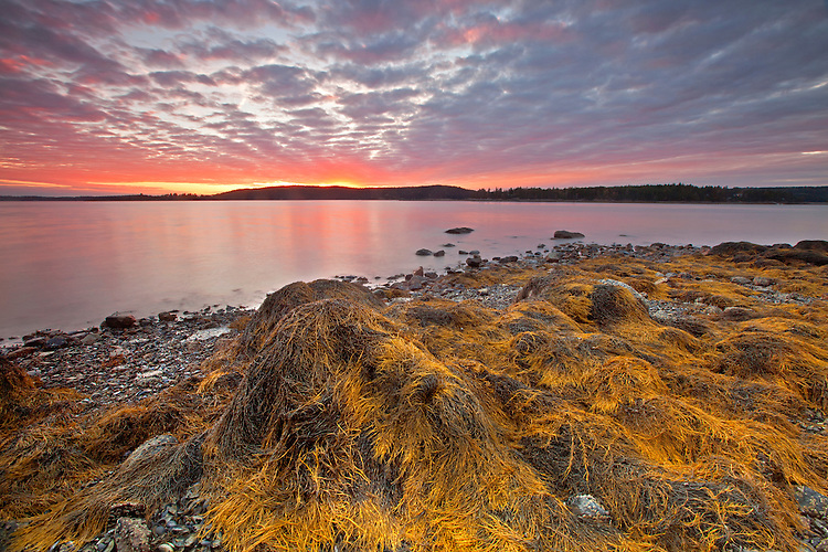 Low tide reveals rockweed-and barnacle-covered boulders on the beach at Pretty Marsh, Acadia National Park, Maine, USA