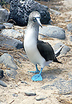 The Blue-footed Booby, (Sula nebouxii), an  icon of the Galapagos Islands. Feeds closer inshore than the Masked or Red-footed and are able to have up to three chicks.