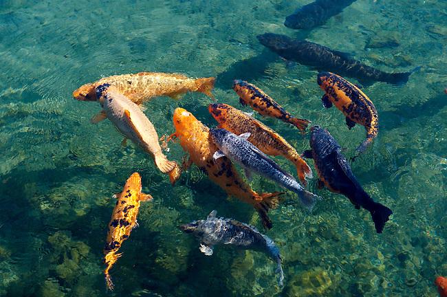 Koi carp in the mill pond  at Tapolca - Balaton, Hungary