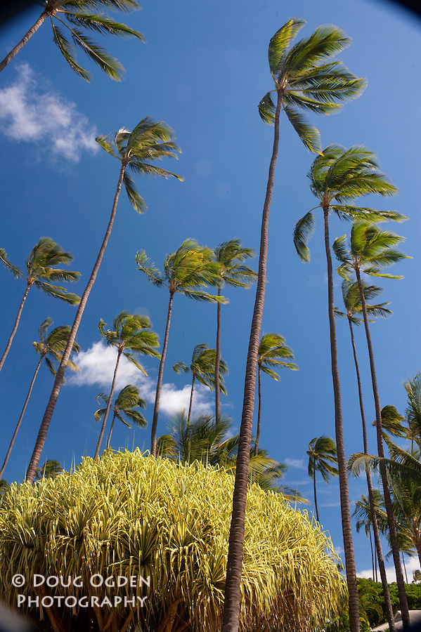 Tradewinds blowing through the palms at Waimea Plantation Waimea, Kauai, Hawaii