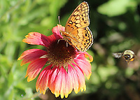 Courtesy photo/PHYLLIS KANE<br /> A bee approaches a variegated frittillary butterfly at Hobbs State Park-Conservation Area. Phyllis Kane of Fayetteville took the picture at the visitor center on Oct. 2