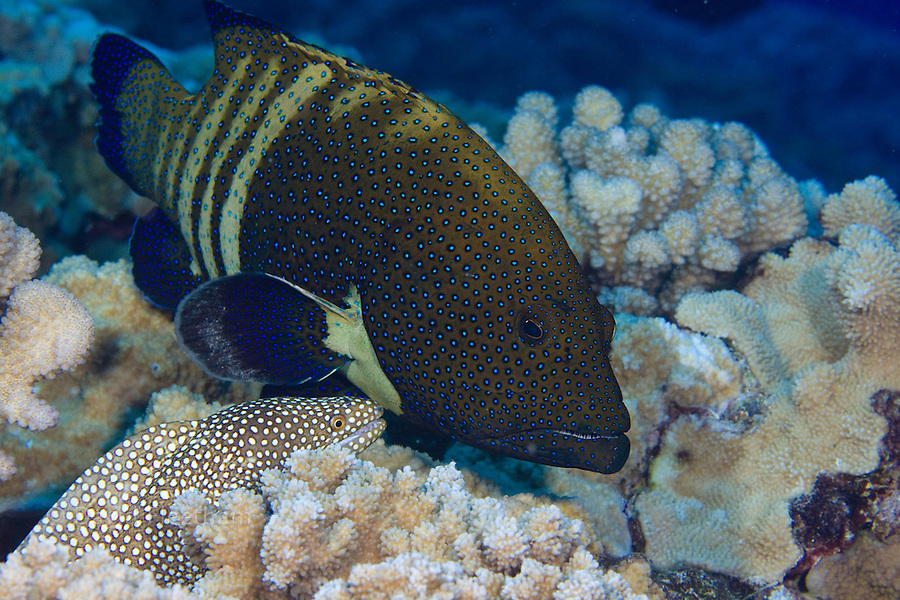 The peacock grouper, Cephalopholis argus and whitemouth moray eels,  Gymnothorax meleagris, hunt together cooperatively to the benifit of both. Hawaii.