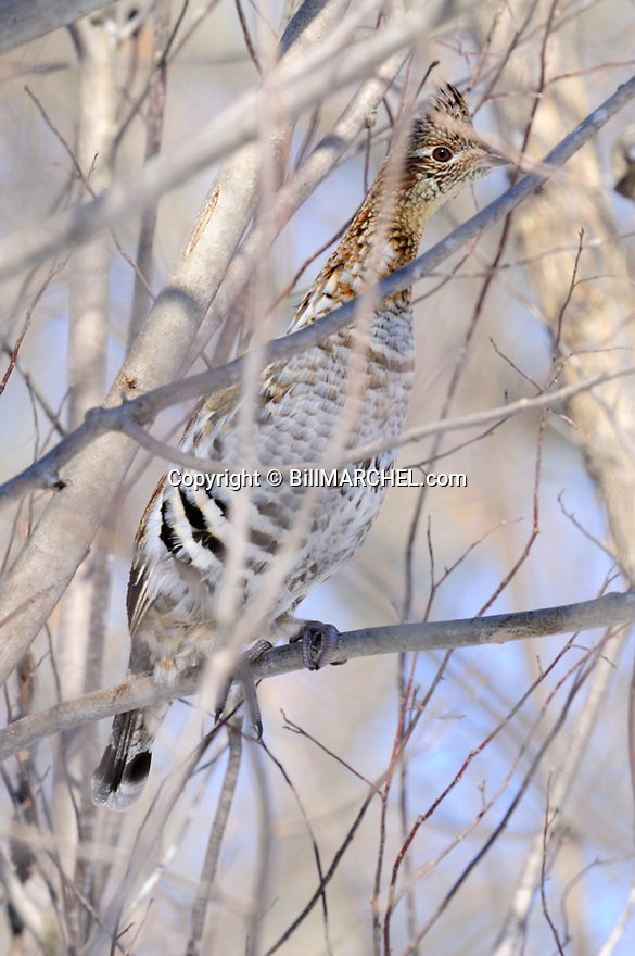 00515-073.01 Ruffed Grouse is perched in tree in stretched out position.  Grouse call it the bowling pin position.