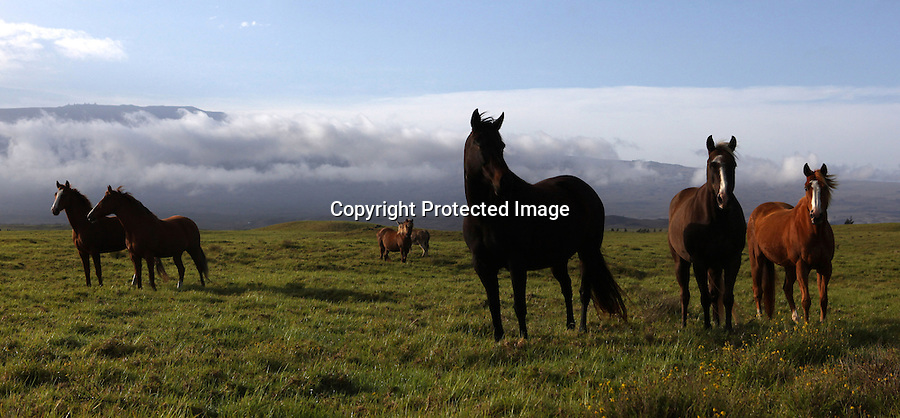 "A group of horses either belonging to or boarded by retired cowboy, Jamie Dowsett, are photographed in their open paddock in Waimea, Hi.  Despite the introduction of ATVs (all terrain vehicles) to herd cattle on many of the ranches, the cowboys use horses for the skilled, nuanced work required in the confines of a coral during brandings and weanings. ""I don't fancy A.T.V. but they say it's cheaper, faster and all that.  That's today...modern cowboys.  I cowboyed (all) my life with horses and I prefer horses. That's cowboy....oh, that's paniolo,""  says long-time cowboy, Sonny Keakealani."