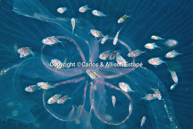 Chloroscombrus chrysurus, Atlantic bumper, juvenile, Florida Keys
