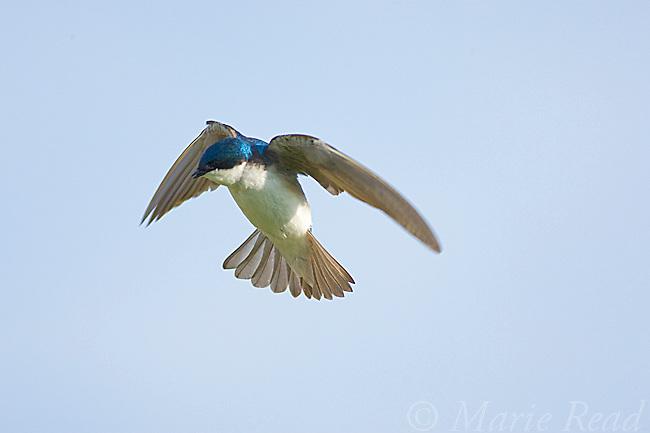 Tree Swallow (Tachycineta bicolor), hovering, Ithaca, New York, USA