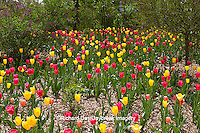 63821-21403 Red and yellowTulips and Lilacs in spring at Lilacia Park, Lombard, IL