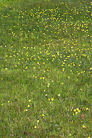 Narcissus bulbocodium AGM miniature daffodil species naturalizing spring bulbs in the lawn, species spring flowering yellow blooms massed