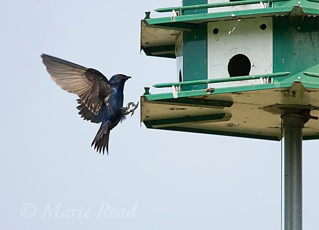 Purple Martin (Progne subis) male landing at a martin house, Montezuma National Wildlife Refuge, New York, USA