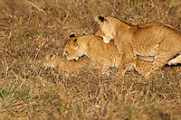African Lion cubs (Panthera leo) playing.  Kenya