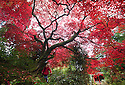30/10/16<br /> <br /> Emma Stansfield (4), poses for a photo under the spooky tree.<br /> <br /> An acer palmatum 'rubrum' turns a vibrant blood-red colour just in time for Halloween. This is just one of many stunning trees that are putting on a spectacular autumn display in the Chinese Garden at Biddulph Grange near Stoke on Trent, Staffordshire. Gardeners at the National Trust property are saying the frost-free autumn may have helped to make this one of the most colourful seasons in many years.<br /> <br /> <br /> All Rights Reserved F Stop Press Ltd. +44 (0)1773 550665