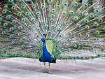 Peacock at Hotel Nacional de Cuba