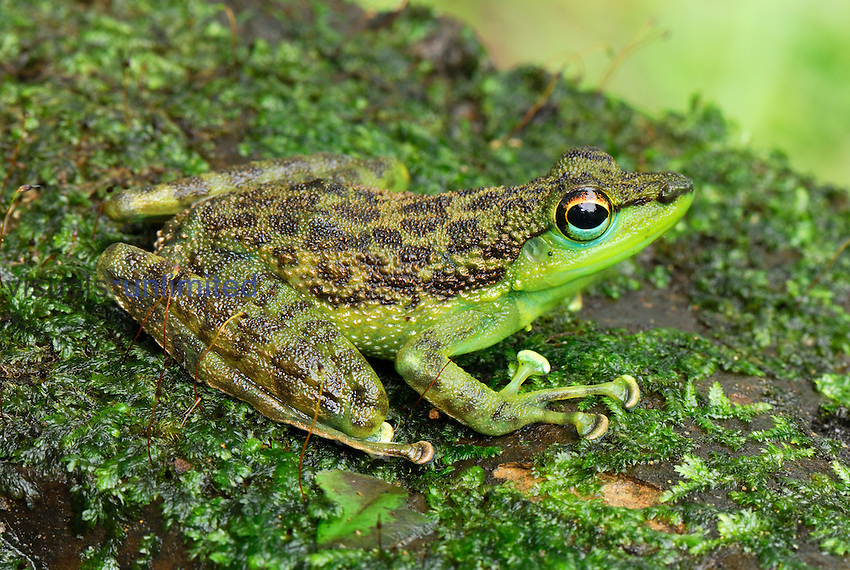 Black-spotted Rock Frog (Staurois natator), Danum Valley Conservation Area, Sabah, Borneo, Malaysia