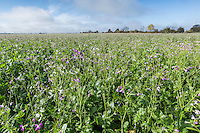 Fodder radish in flower, sown as a cover crop - Lincolnshire, November