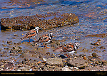 Ruddy Turnstones in Breeding Plumage, Ballona Creek, Southern California
