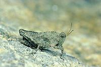 Langfühler-Dornschrecke, Tetrix tenuicornis, Tetrix nutans, Dornschrecken, Long-horned Groundhopper, Tetrigidae, grouse locusts, pygmy locusts, groundhoppers, pygmy grasshoppers