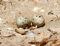 Least tern nest with two eggs