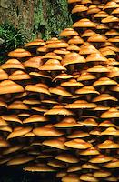 Gemeines Stockschwämmchen, Stock-Schwämmchen, Pilzansammlung, Pilzgruppe an einem morschen Baumstubben, Totholz, Kuehneromyces mutabilis, Pholiota mutabilis, Sheathed Woodtuft